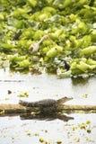Alligatore che prende il sole sul Natale di una connessione della palude, Florida del bambino Fotografia Stock