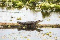 Alligatore che prende il sole sul Natale di una connessione della palude, Florida del bambino Fotografie Stock Libere da Diritti