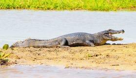 Alligatore che prende un sunbath su un banco di sabbia sui margini di un riv Fotografia Stock