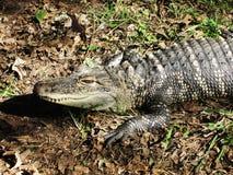 Alligatore che prepara colpire Fotografia Stock Libera da Diritti