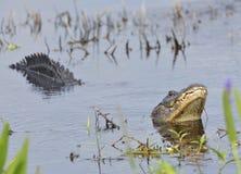 Alligatore che ringhia per un compagno Fotografie Stock Libere da Diritti