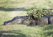 Alligatore che riposa con alcune piante acquatiche sulla sua parte posteriore Fotografia Stock
