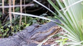 Alligatore che riposa, grande prerogativa nazionale di Cypress, Florida Fotografia Stock