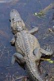 Alligatore che riposa nelle paludi dei terreni paludosi del ` s di Florida nazionali Fotografia Stock