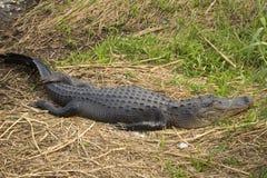 Alligatore che riposa nelle paludi dei terreni paludosi del ` s di Florida nazionali Immagini Stock