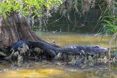 Alligatore che riposa sotto un grande albero di Cypress Fotografie Stock Libere da Diritti