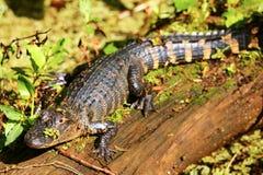 Alligatore che riposa su un ceppo Fotografia Stock Libera da Diritti