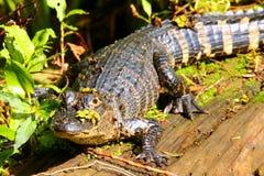 Alligatore che riposa su un ceppo Immagini Stock Libere da Diritti