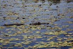Alligatore che riposa sul fiume Fiume di Myakka Fotografia Stock