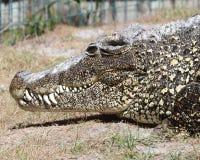 Alligatore che riposa sulla banca con i lotti dei denti Fotografia Stock