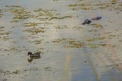 Alligatore che si avvicina ad un gallinule da dietro in Florida centrale Immagine Stock Libera da Diritti