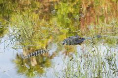 Alligatore che si mescola dentro Fotografie Stock Libere da Diritti