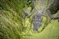 Alligatore che si nasconde dal lato del lago Fotografia Stock Libera da Diritti