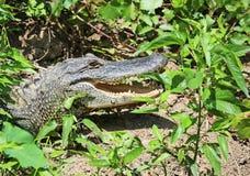 Alligatore che si nasconde nel verde Immagine Stock
