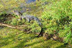 Alligatore che si nasconde in un lago Fotografie Stock Libere da Diritti