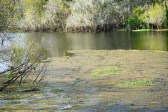 Alligatore che si nasconde in un lago Fotografia Stock Libera da Diritti