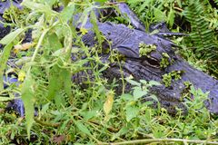 Alligatore che si nasconde in uno stagno Fotografia Stock