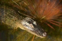Alligatore che si rilassa in acqua Fotografie Stock