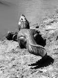 Alligatore che si trova su una sponda del fiume Fotografie Stock