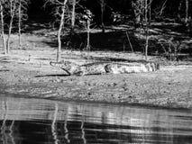 Alligatore che si trova su una sponda del fiume Immagine Stock