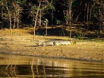 Alligatore che si trova su una sponda del fiume Fotografia Stock