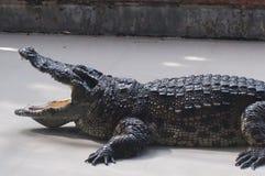 Alligatore che si trova sul pavimento di calcestruzzo con la bocca aperta Fotografia Stock