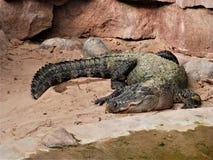 Alligatore che si trova sulla sabbia Fotografia Stock
