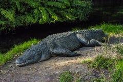 Alligatore che si trova sulla terra Fotografia Stock