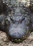 Alligatore che si trova sulla terra Immagine Stock Libera da Diritti