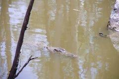 Alligatore che si trova in un'acqua fotografia stock libera da diritti