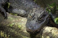 Alligatore cinese Immagini Stock