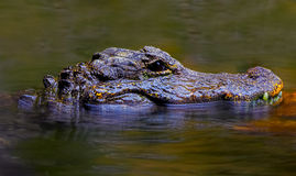 Alligatore cinese Fotografie Stock Libere da Diritti
