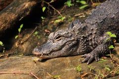 Alligatore cinese Fotografia Stock Libera da Diritti