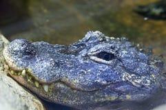 Alligatore cinese (alligator sinensis) Immagine Stock Libera da Diritti