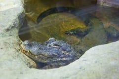 Alligatore cinese (alligator sinensis) Immagini Stock