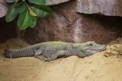 Alligatore cinese, alligator sinensis Fauvel fotografia stock libera da diritti