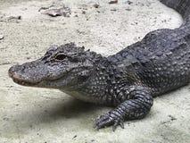 Alligatore cinese di Buaya il fiume Chang Jiang sulla sabbia Fotografia Stock Libera da Diritti