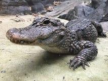 Alligatore cinese di Yangtze Immagini Stock Libere da Diritti