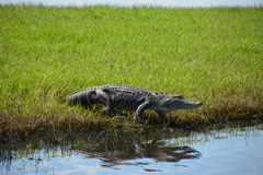 Alligatore circa per entrare in acqua Fotografie Stock