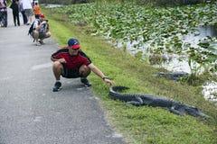Alligatore commovente turistico Immagine Stock Libera da Diritti