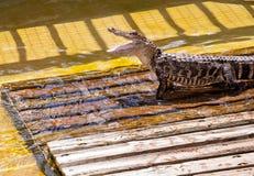 Alligatore con il mese aperto Immagine Stock