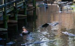 Alligatore con la bocca aperta Fotografia Stock