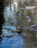 Alligatore con la bocca aperta Immagini Stock Libere da Diritti