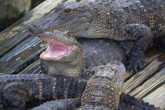 Alligatore con la bocca aperta Fotografia Stock Libera da Diritti