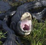 Alligatore con la bocca aperta Immagini Stock