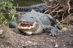 Alligatore con la bocca aperta Fotografie Stock