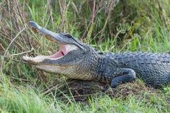 Alligatore con la bocca aperta Fotografie Stock Libere da Diritti