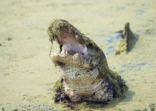 Alligatore con la sua bocca aperta Fotografia Stock Libera da Diritti