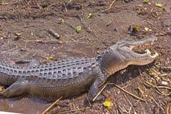 Alligatore con una bocca aperta Fotografia Stock Libera da Diritti