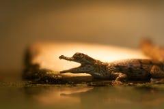Alligatore corcodile del bambino sulla lampadina Fotografia Stock